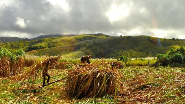 Sugar workers Mauritius